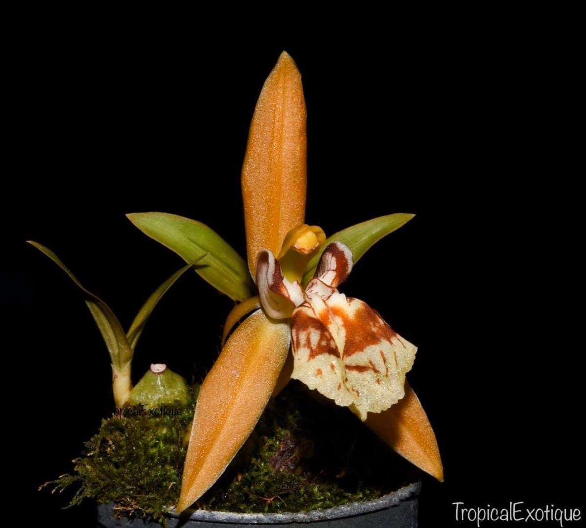 洋蘭原種 (324) 良株 ミニチュアセロジネ Coel. schilleriana セロジネ シレリアナ_参考開花例です。