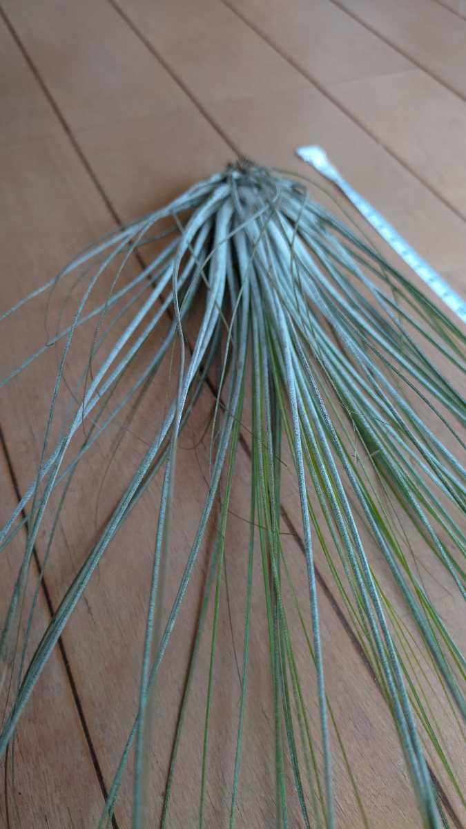 チランジア ジュンセア Tillandsia juncea