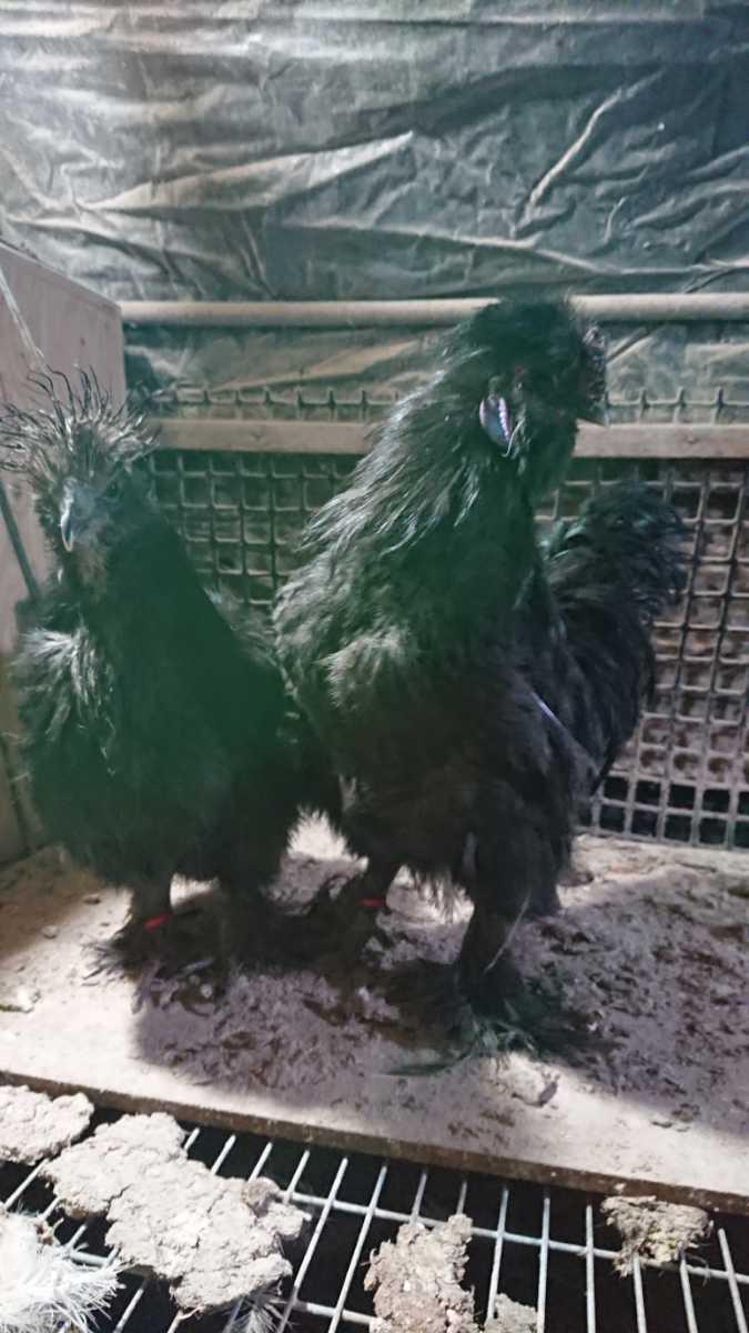 ブラックシルキー有精卵、種卵6個_画像4