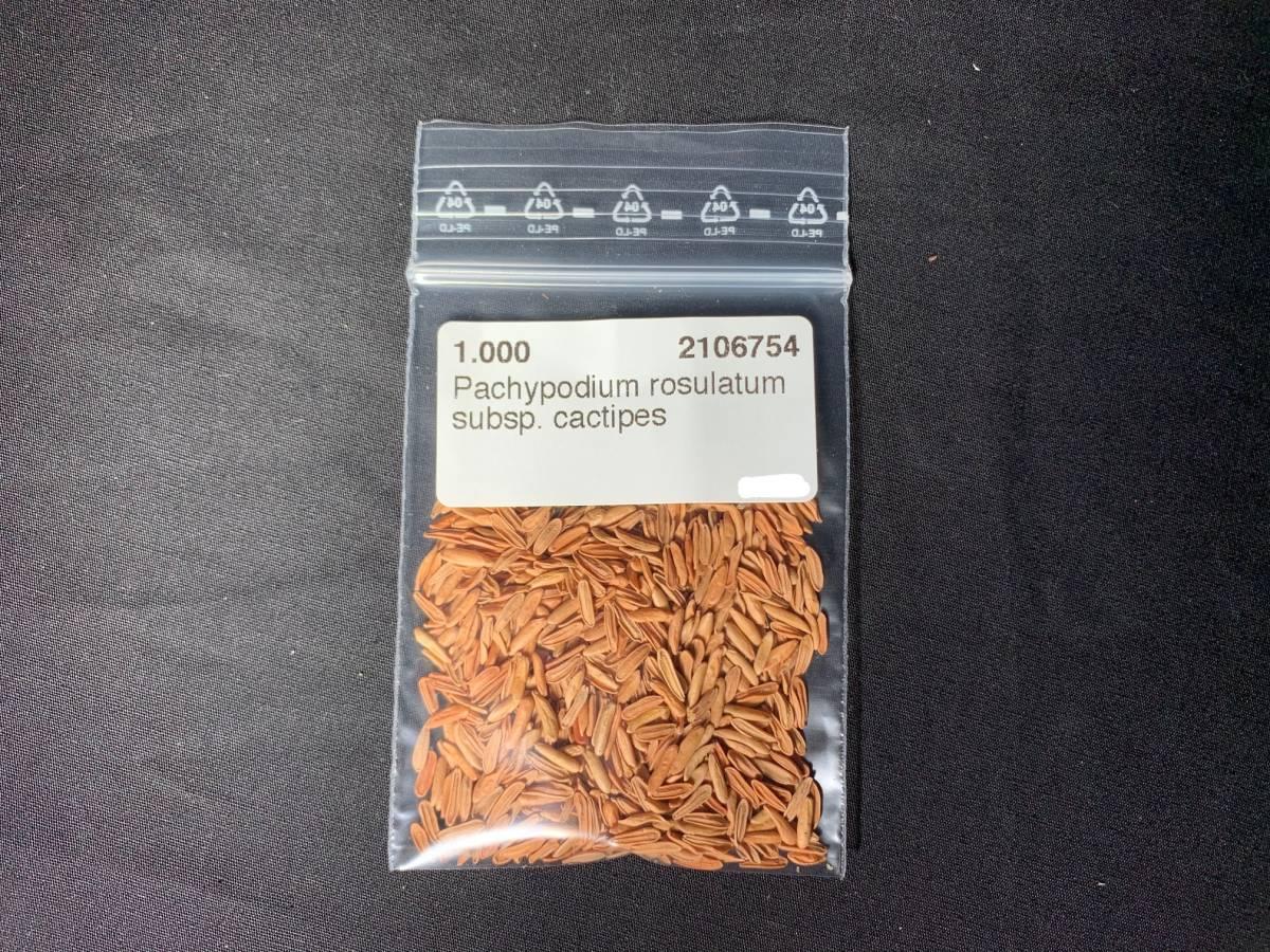 【送料無料】種子50粒 パキポディウム ロスラーツムカクチペス No.2_画像2