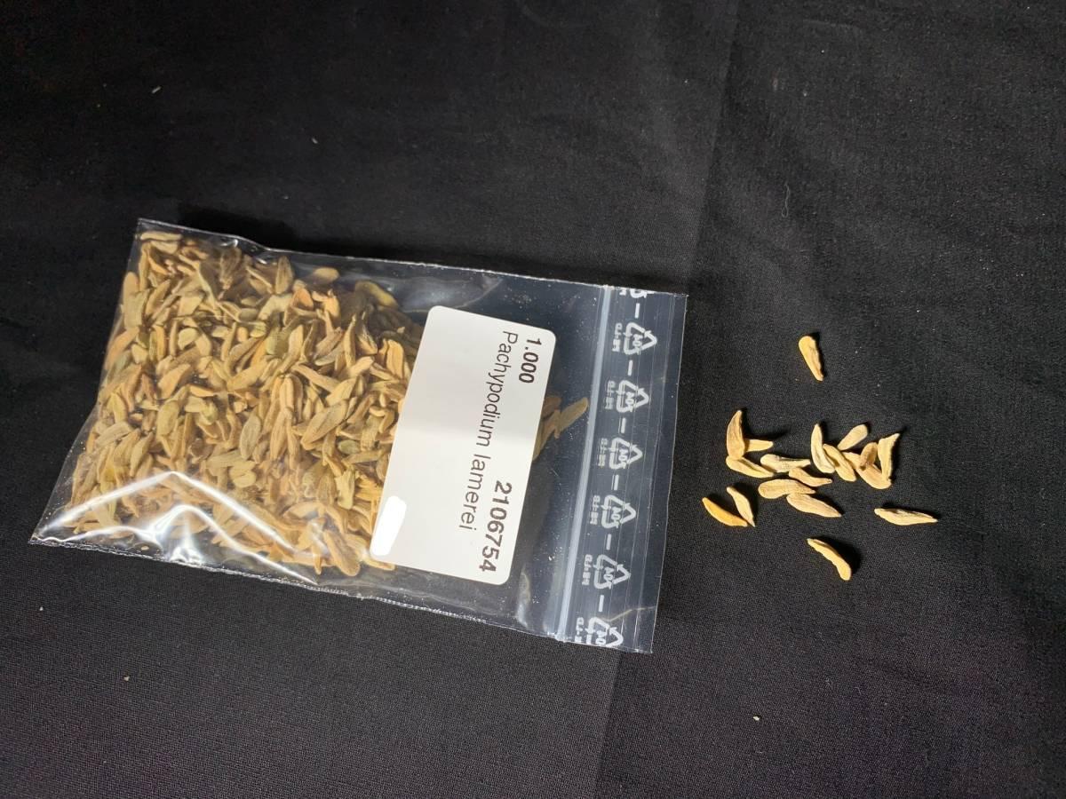【送料無料】種子10粒 パキポディウム ラメリー(夢叶棒)No.1_画像1