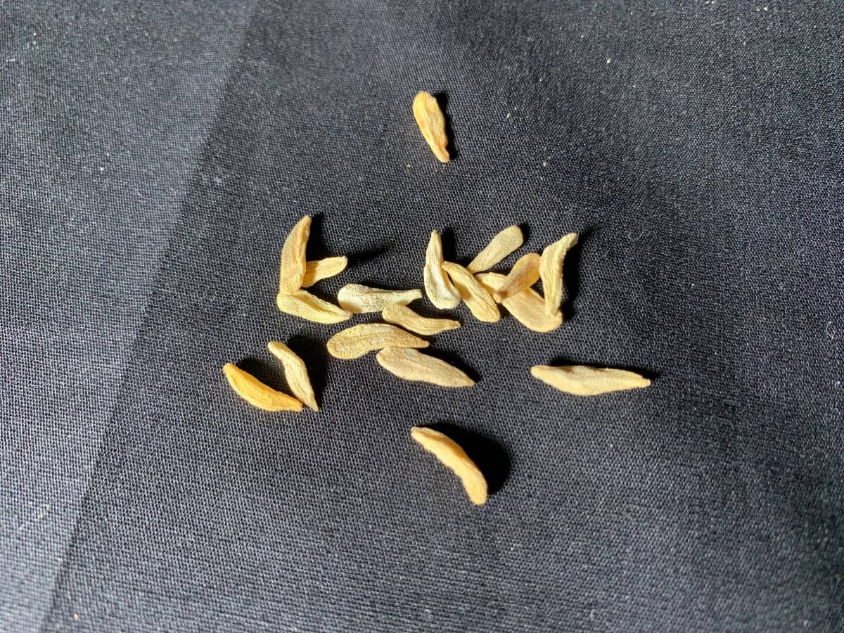 【送料無料】種子10粒 パキポディウム ラメリー(夢叶棒)No.1_画像3