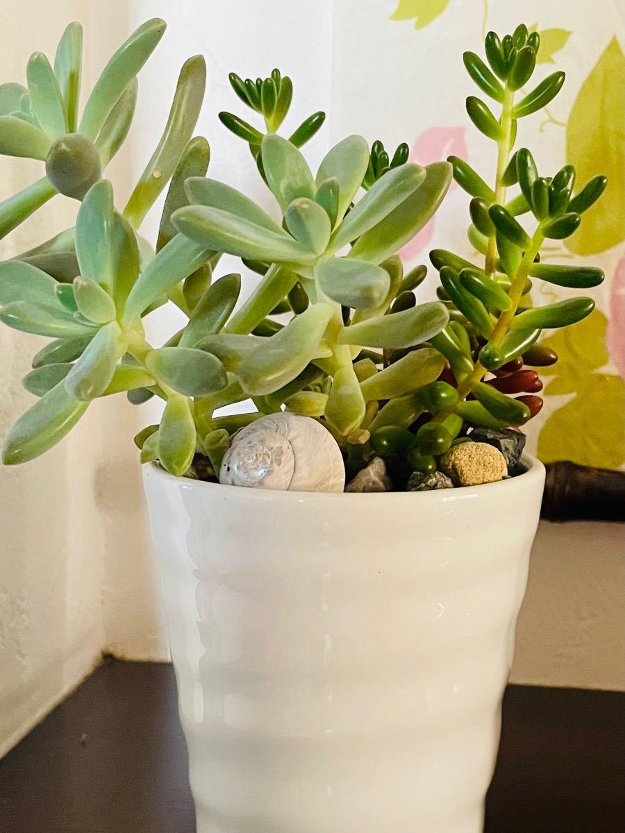 多肉植物 寄せ植えに使えます虹の玉&グラプトセダム 抜き苗または、カット苗 各種3本(器は無し、ネコポス発送予定)