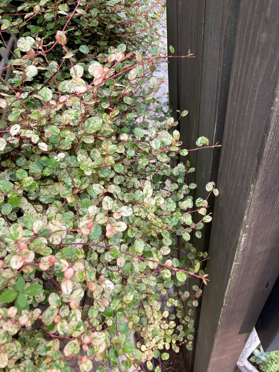ワイヤープランツ 斑入り スポットライト 抜き苗 根付き 5本 カラーリーフ ピンク色 宿根草 グランドカバー