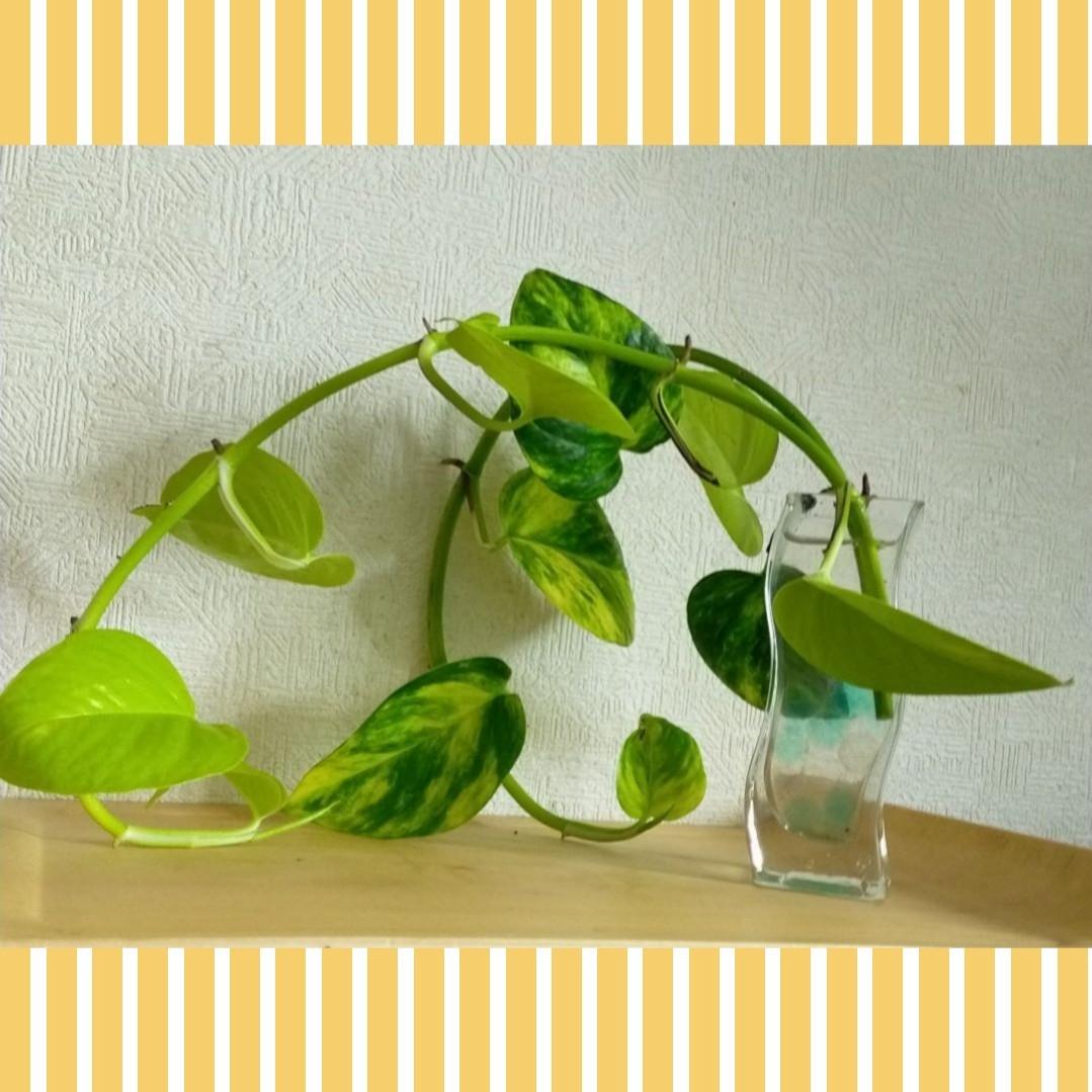 インドアグリーン♪☆ポトス ゴールデン&ライム カット苗☆発根中♪ツヤツヤ良苗♪