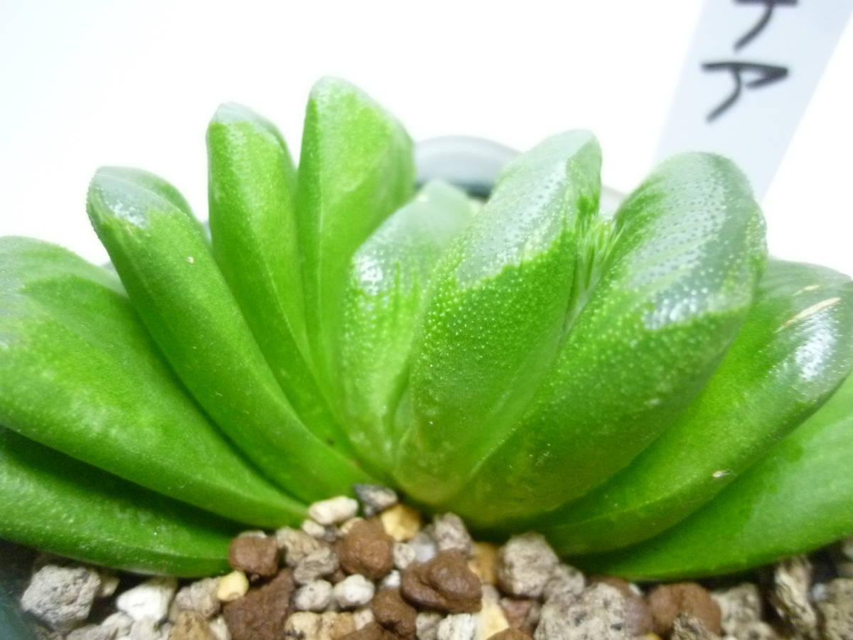 サボテン 多肉植物   ハオルチア 玉扇 ****_画像5