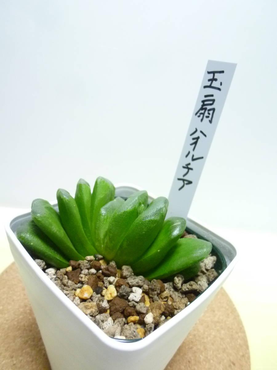 サボテン 多肉植物   ハオルチア 玉扇 ****_画像4