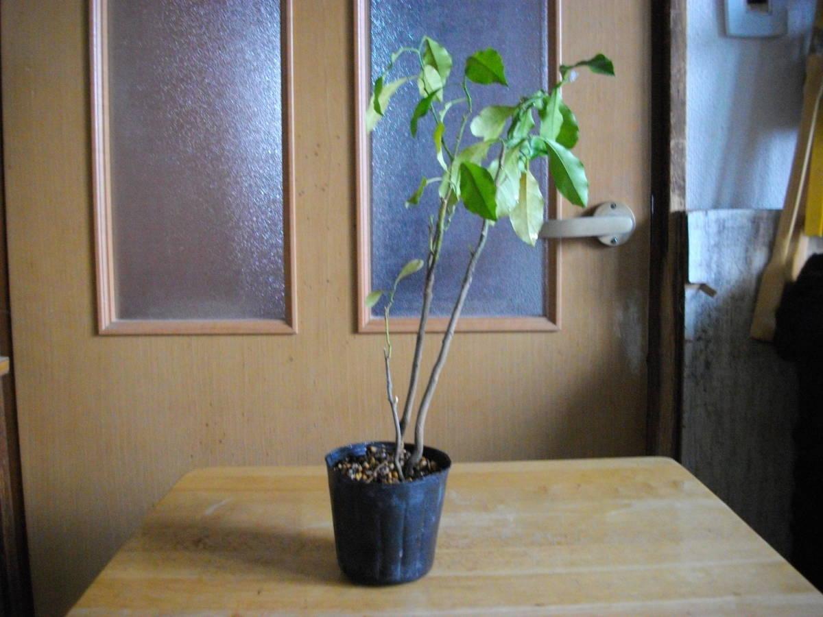 柑橘苗 レモン? 中 苗木 2本 高さ25cm位 実生_レモンの苗木2本です。