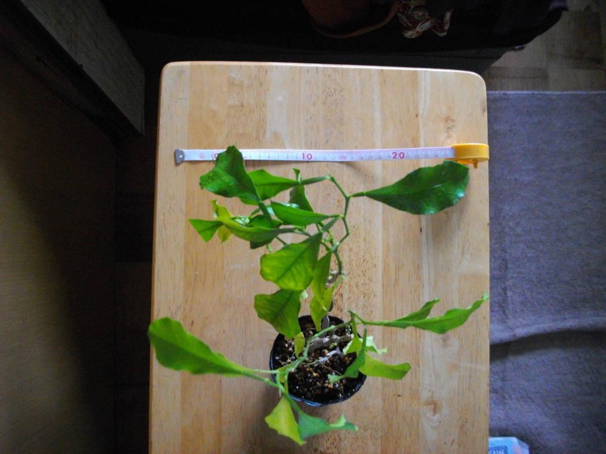 柑橘苗 レモン? 中 苗木 2本 高さ25cm位 実生_大体ですが、縦横20cm位です。