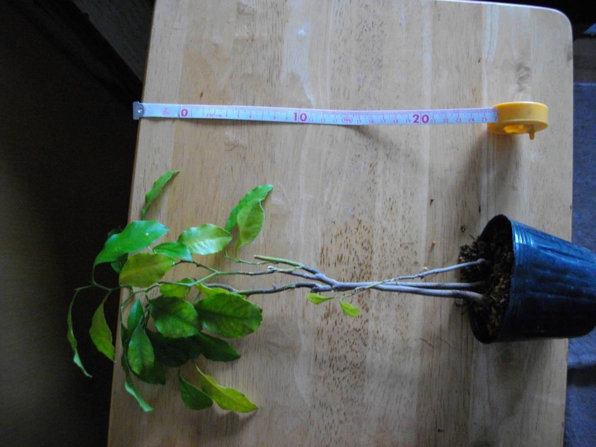 柑橘苗 レモン? 中 苗木 2本 高さ25cm位 実生_大体ですが高さ25cm位です。
