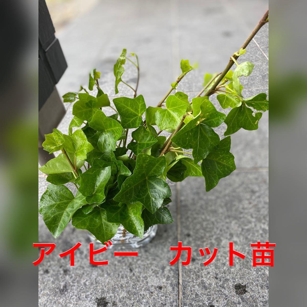 二種 エゴノキ 幼苗とアイビーのカット苗 プライバシー発送
