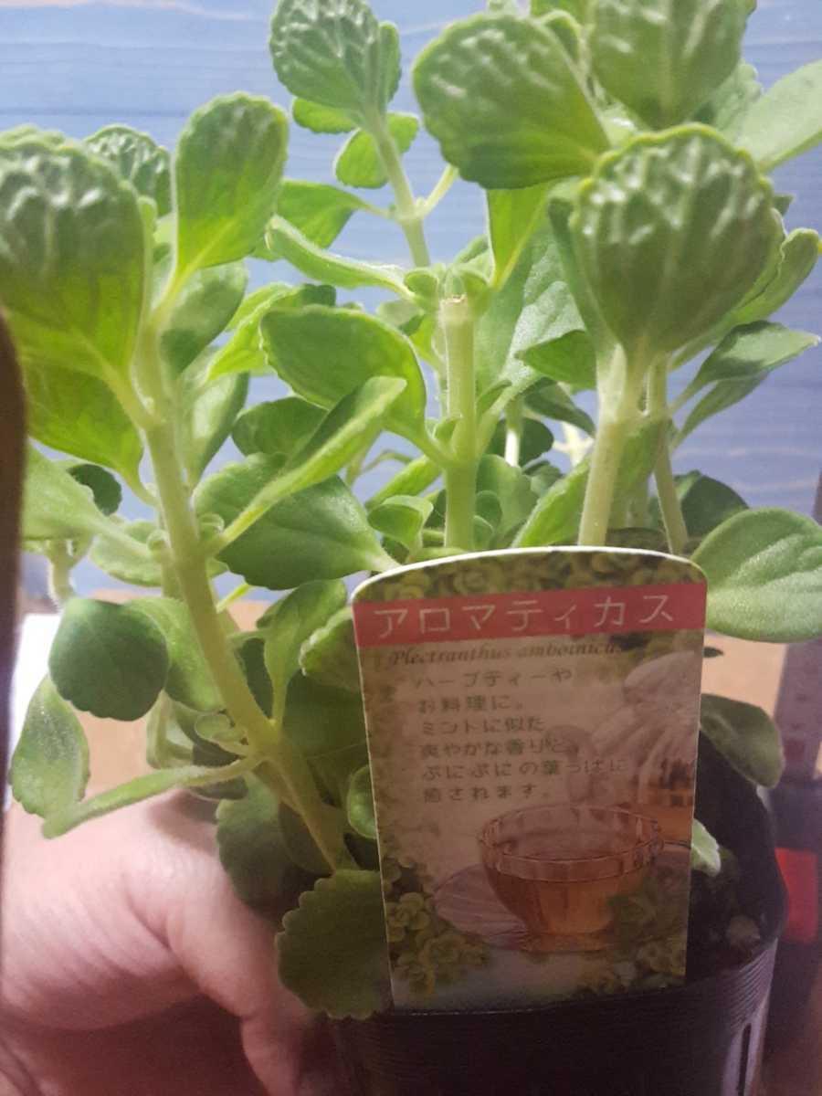 1苗 ゴキブリが嫌う香 ハーブ モリモリ アロマティカス 苗 鉢 多肉 爽やかな香り 多肉植物 第四種植物発送可能です_画像5