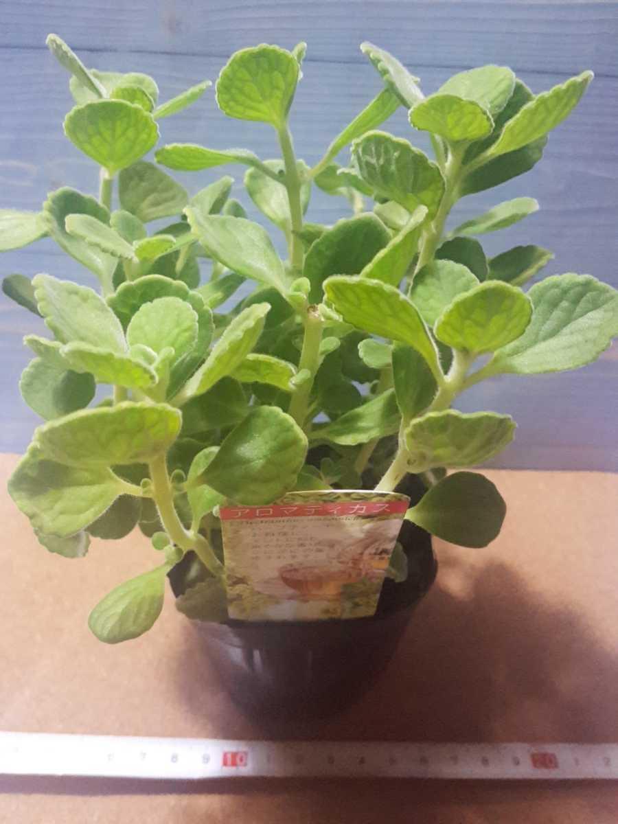 1苗 ゴキブリが嫌う香り ハーブ モリモリ アロマティカス 苗 鉢 多肉 爽やかな香り 多肉植物 第四種植物発送可能です_画像1