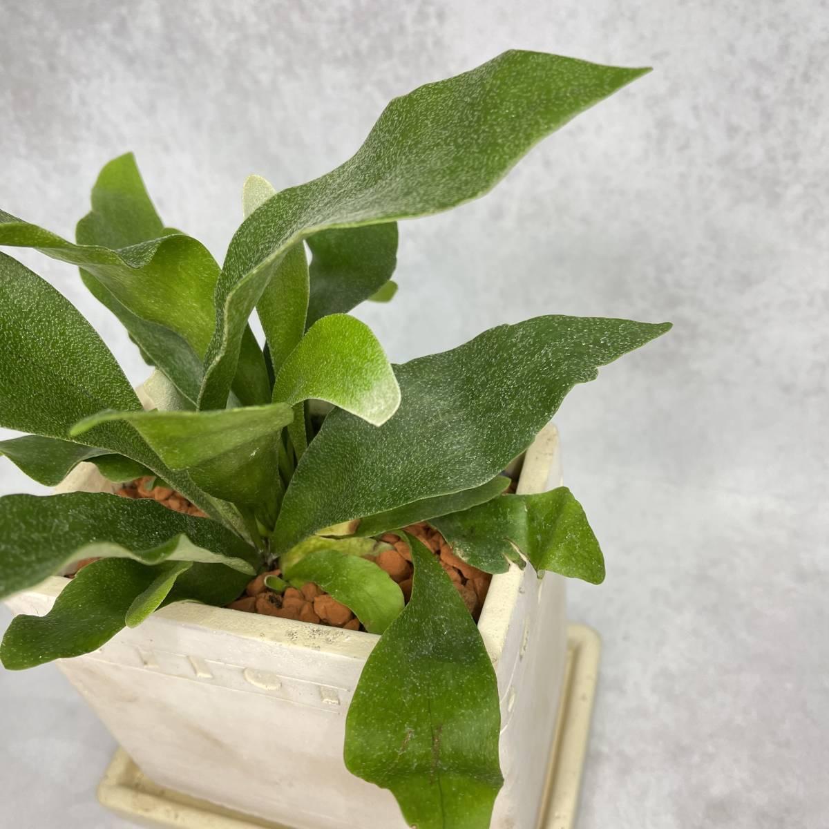 コウモリラン ビカクシダ お洒落アレンジ 植物 観葉植物 プレゼント インテリア