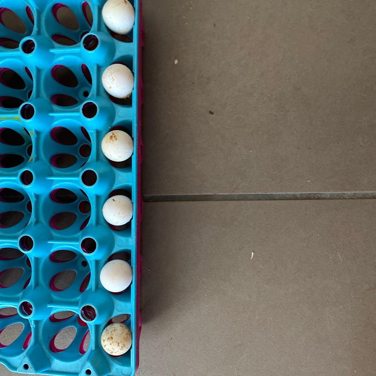 コリンウズラ ボブホワイト 有精卵 種卵 6個_画像1
