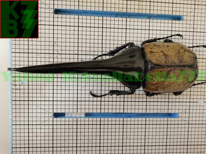 【昆虫標本】ヘラクレスオオカブト(DYNASTES HERCULES) 死虫標本コレクション 商売繁盛金運財運開運祈願風水装飾品★長さ174mm E13_画像1