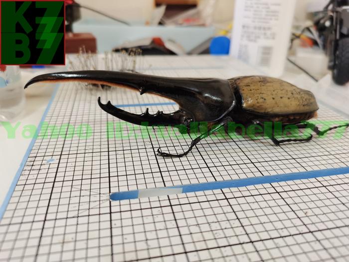 【昆虫標本】ヘラクレスオオカブト(DYNASTES HERCULES) 死虫標本コレクション 商売繁盛金運財運開運祈願風水装飾品★長さ174mm E13_画像2