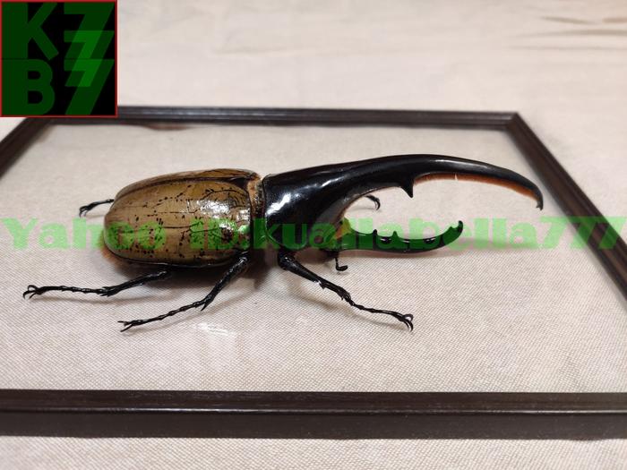 【昆虫標本】ヘラクレスオオカブト(DYNASTES HERCULES) 死虫標本コレクション 商売繁盛金運財運開運祈願風水装飾品★長さ165mm E12_画像2