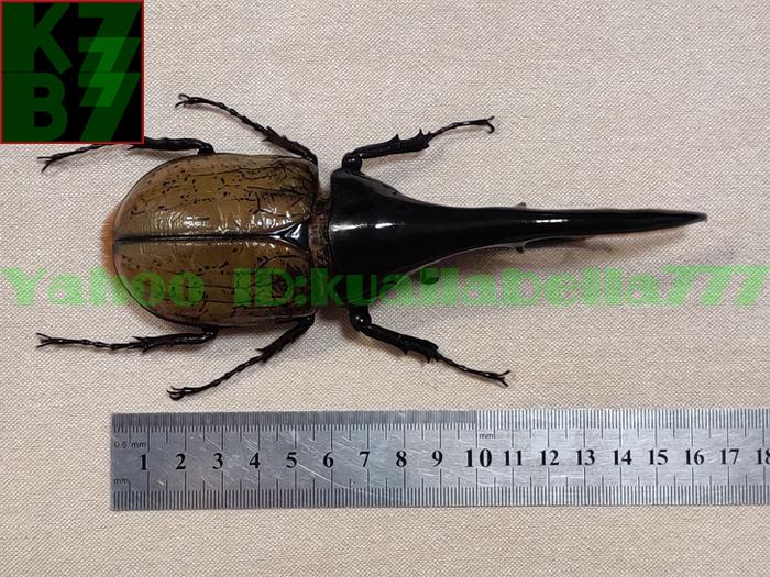 【昆虫標本】ヘラクレスオオカブト(DYNASTES HERCULES) 死虫標本コレクション 商売繁盛金運財運開運祈願風水装飾品★長さ165mm E12_画像3