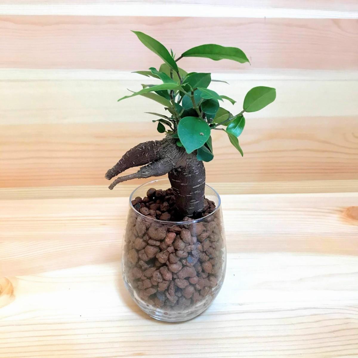 ガジュマル ハイドロカルチャー 観葉植物