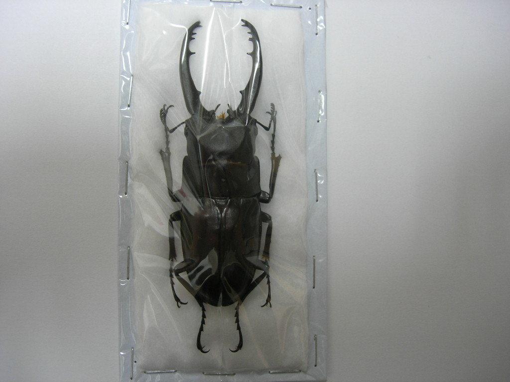 昆虫標本★極太特大美個体★コーポラアルノコギリ♂79.5ミリ_画像3