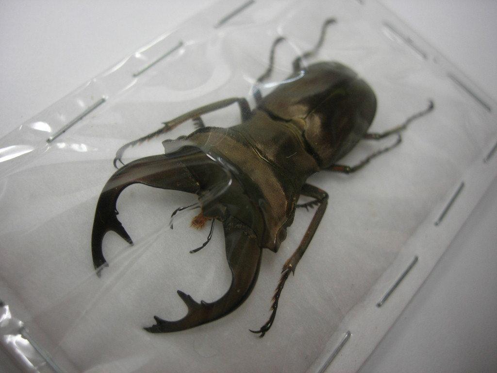 昆虫標本★特大★イリアン産バインライヒホソアカクワガタ♂44ミリ_画像1