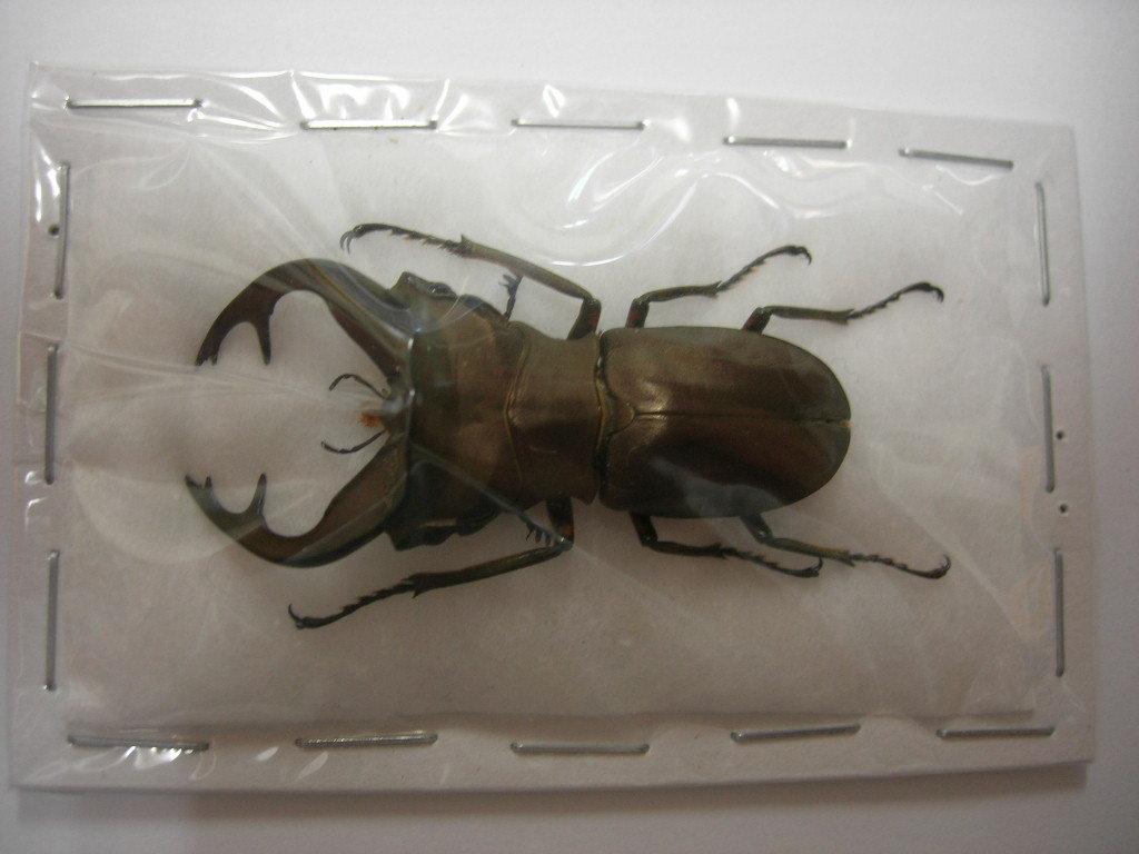 昆虫標本★特大★イリアン産バインライヒホソアカクワガタ♂44ミリ_画像2