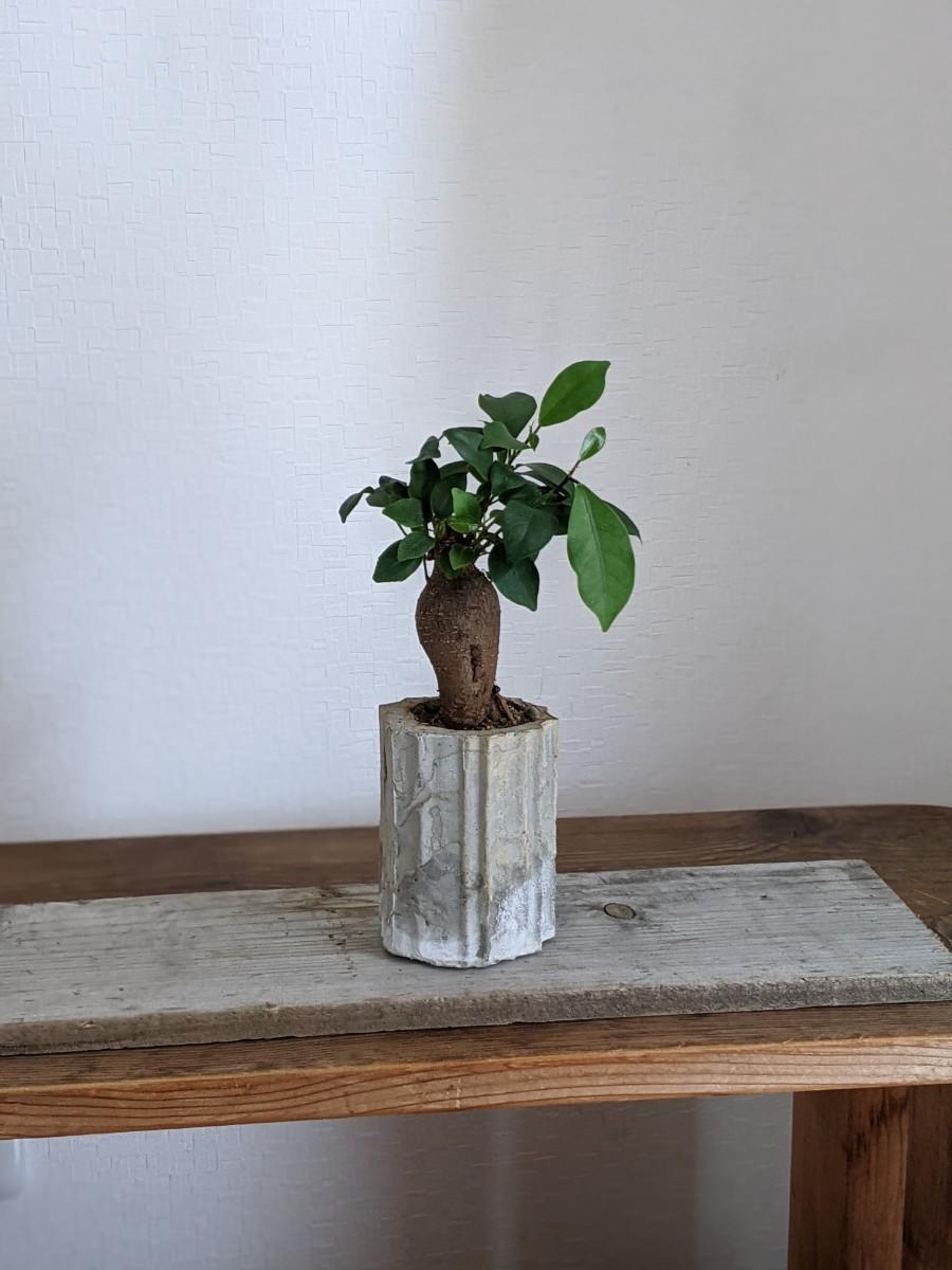 ガジュマルの木 セメント植木鉢