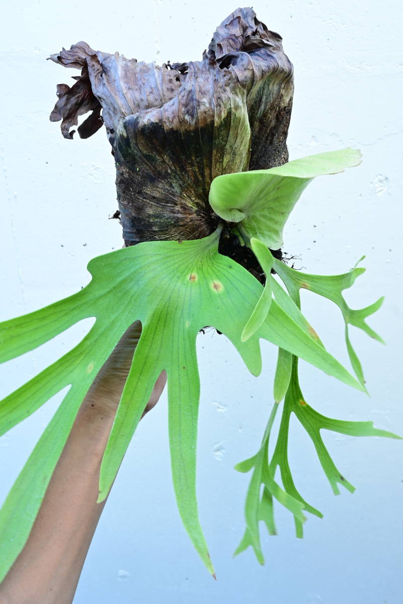 P.coronarium Thin frond @bikamori.com コロナリウム ビカクシダ