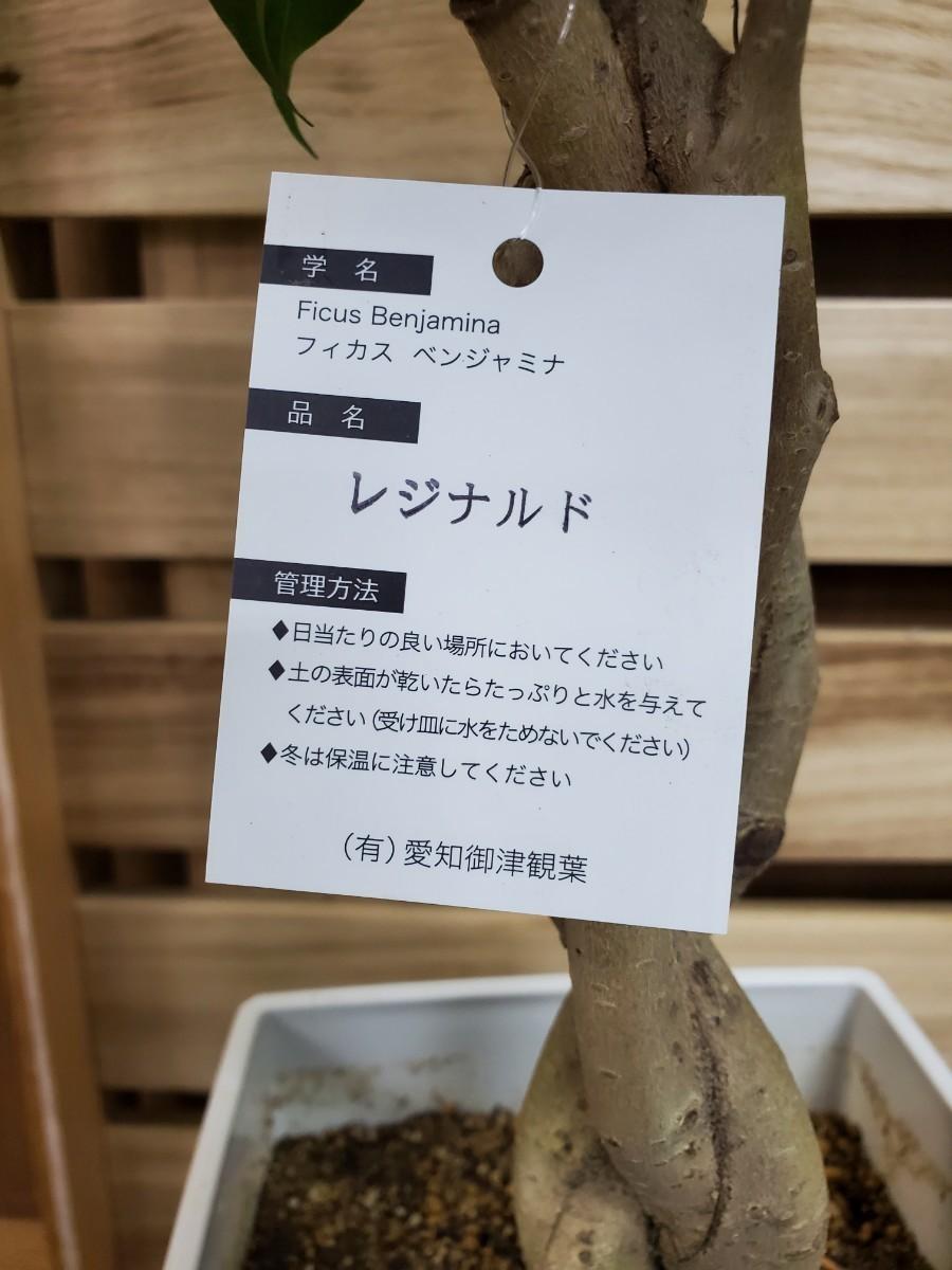 観葉植物『ベンジャミン・レジナルド』7寸