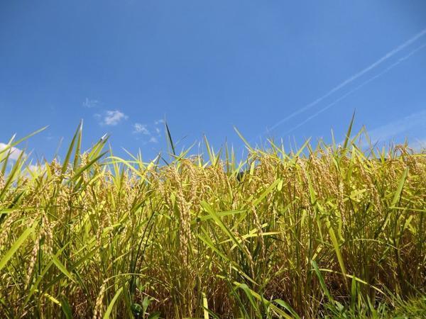愛媛 石鎚山麓 久万高原 清流米 減農薬 特別栽培米 令和2年産 ( もち米 ) 白米1kg 真空パック 高原清流が育んだお米 送料無料 宇和海の幸_実り