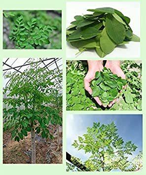 50g × 1袋 【国内製造】希少な有機栽培のモリンガです!栽培期間中、農薬・化学肥料 不使用。国産のモリンガ葉100%を使用 _画像3