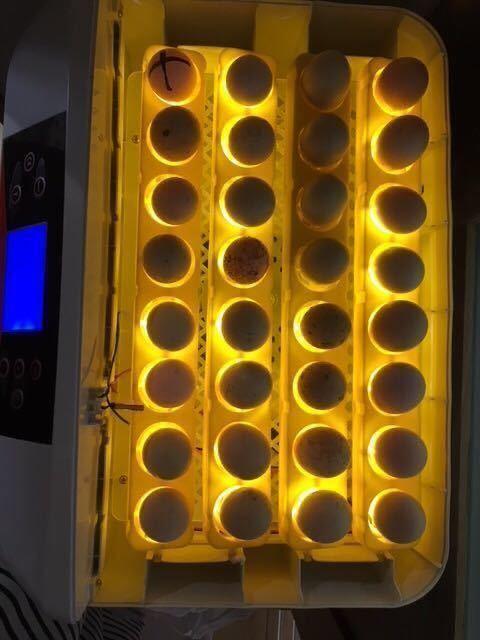 (即決)2~3日卵6個 モコモコ純粋烏骨鶏有精卵(割れ補償込み)_画像2