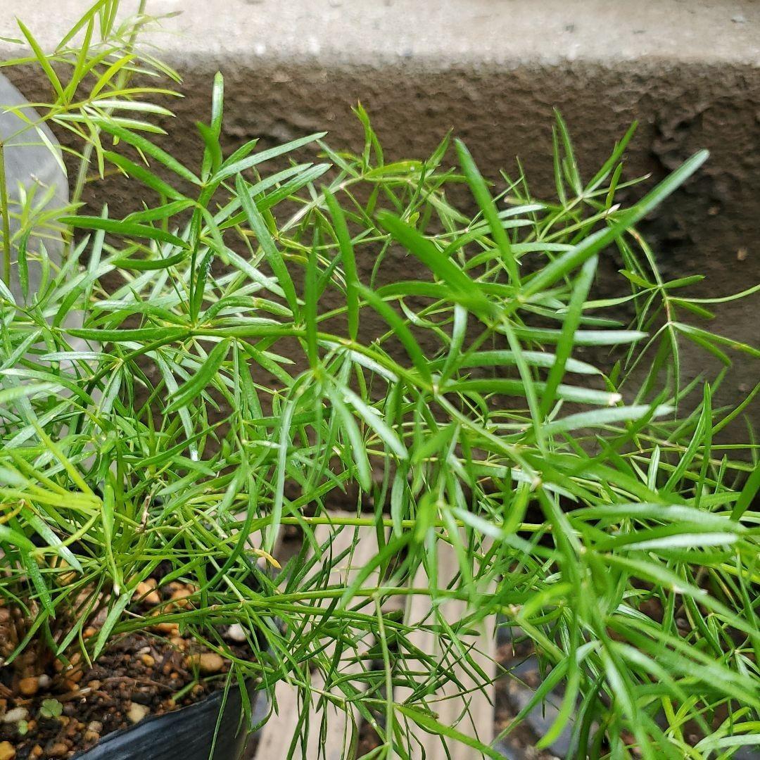 『アスパラガス・スプレンゲリー』現品 4号ポット苗 抜き苗 観葉植物