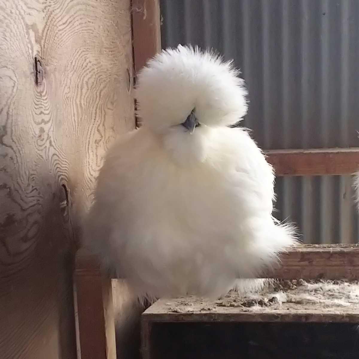 白烏骨鶏 種卵 6個 有精卵_画像1