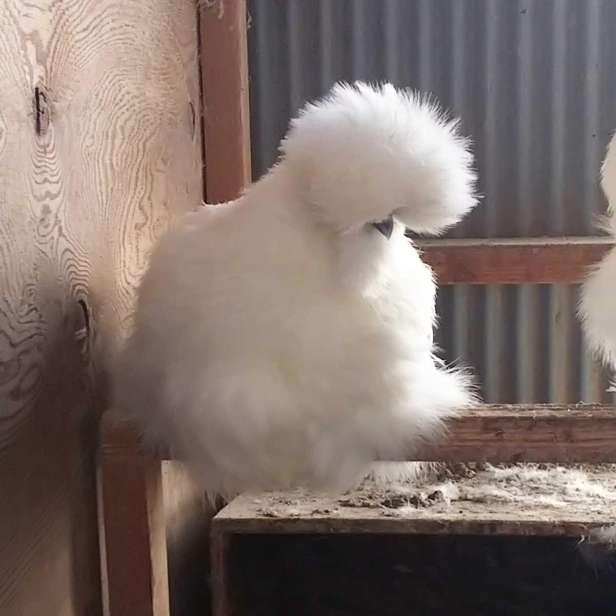 白烏骨鶏 種卵 6個 有精卵_画像2