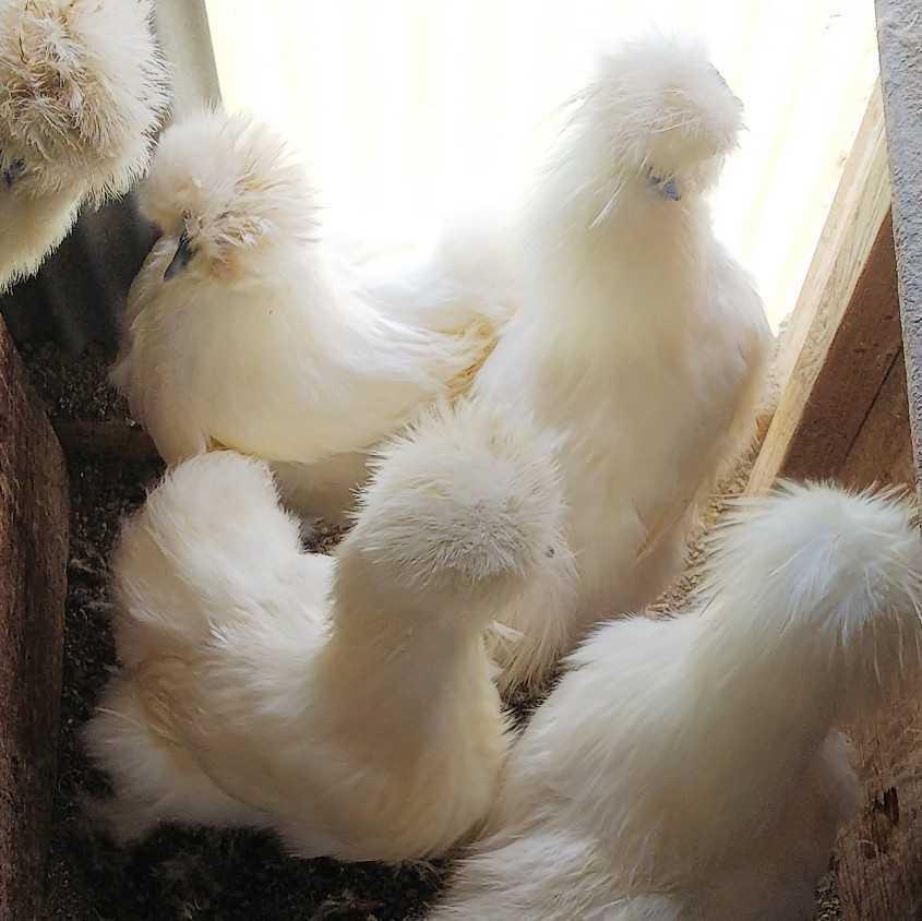 白烏骨鶏 種卵 6個 有精卵_画像4