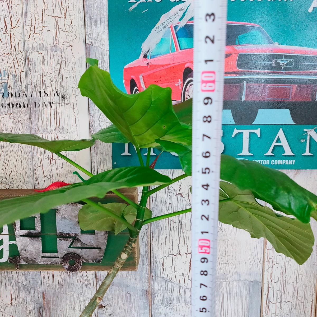 【観葉植物】ウンベラータ