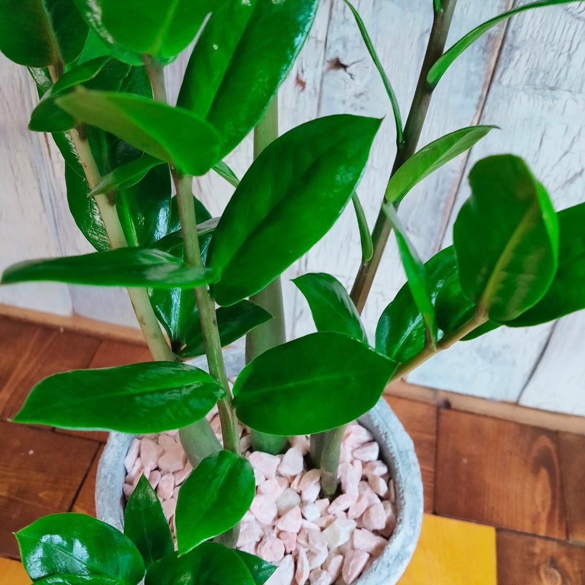 【観葉植物】ザミオクルカス 受皿付