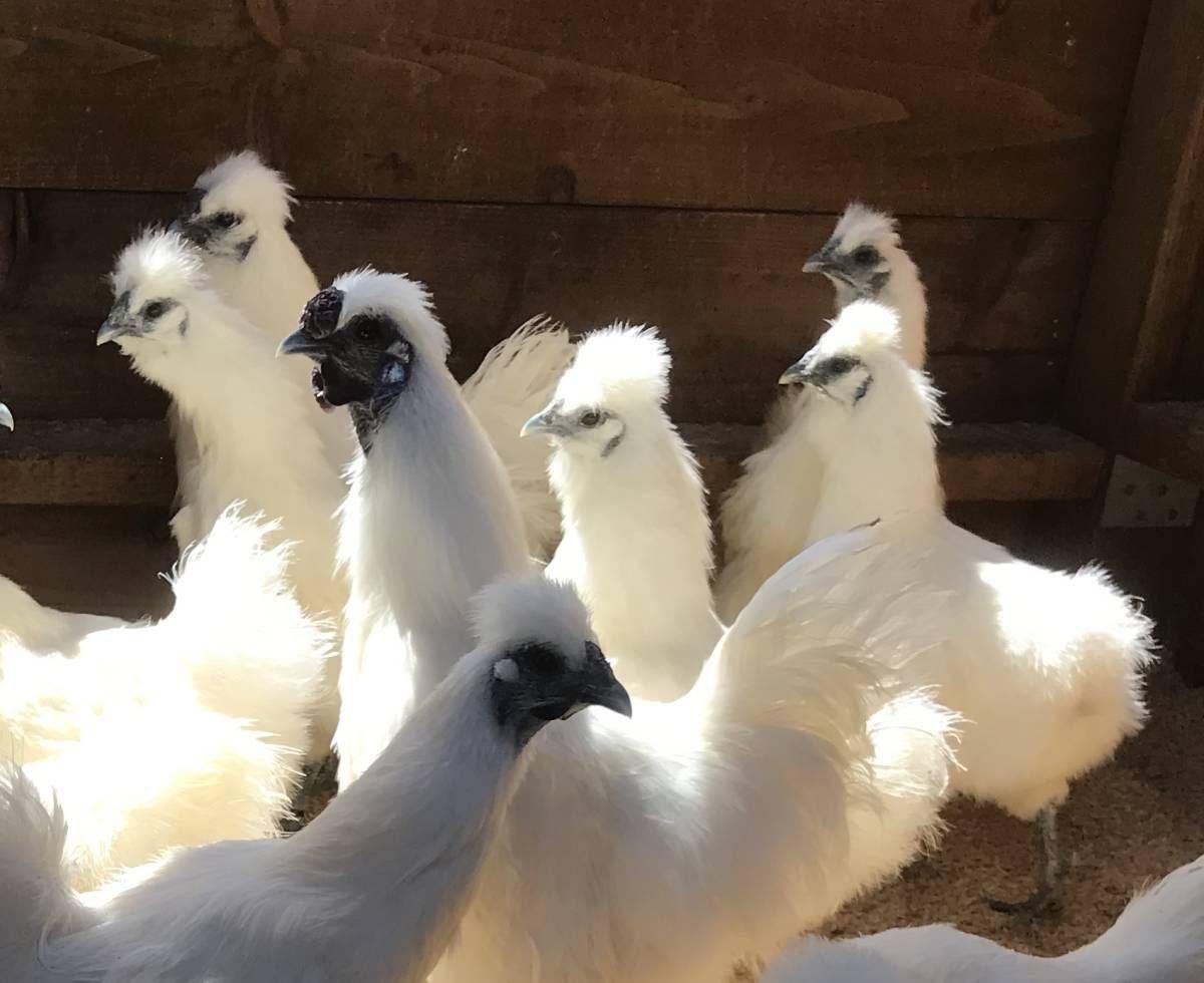 東京烏骨鶏の有精卵 孵化用B群から 6個の出品_画像1