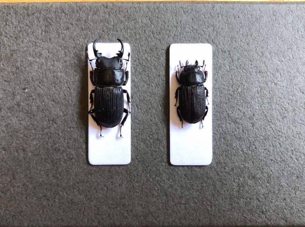 昆虫標本 京都産 ネブトクワガタペア_画像1