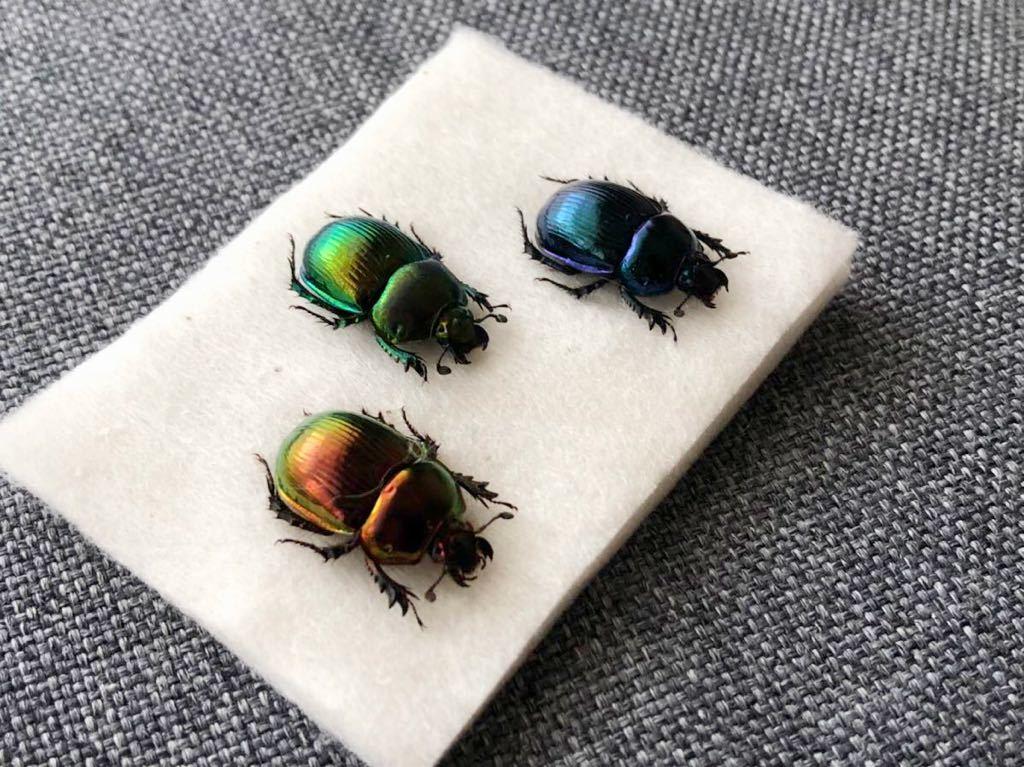 昆虫標本 美麗種 オオセンチコガネグラデーションセット_画像3
