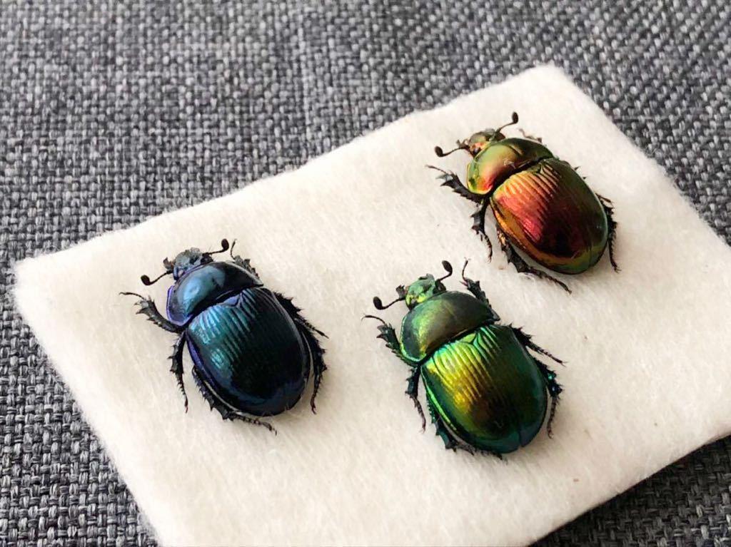 昆虫標本 美麗種 オオセンチコガネグラデーションセット_画像2