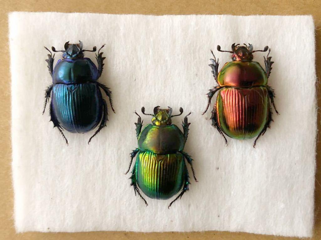 昆虫標本 美麗種 オオセンチコガネグラデーションセット_画像1