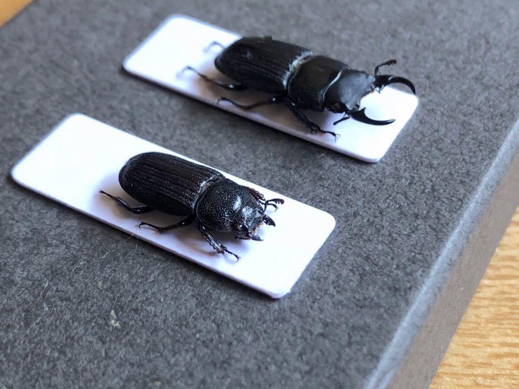 昆虫標本 京都産 ネブトクワガタペア_画像3