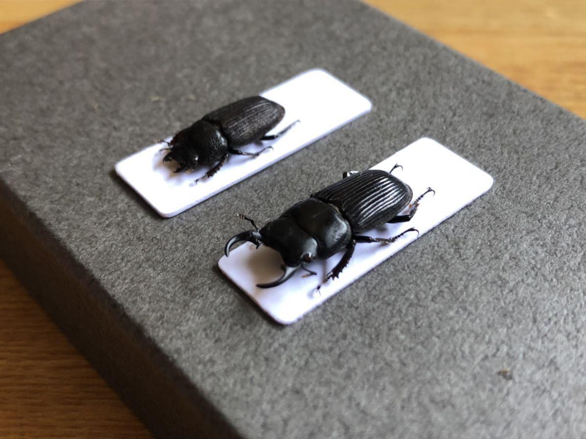 昆虫標本 京都産 ネブトクワガタペア_画像2