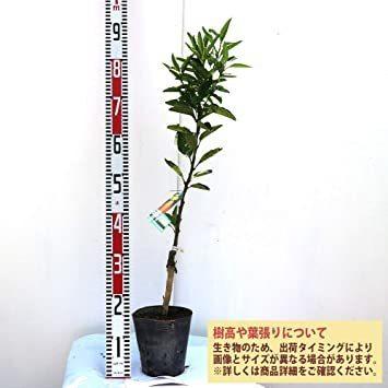 新品みかんの苗木 品種:せとか【品種で選べる果樹苗木 2年生 接木苗 15cmポット 平均樹高:約60cm/1個24GP_画像3
