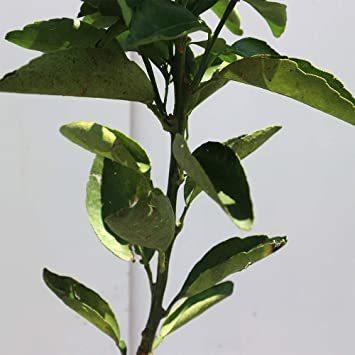 新品みかんの苗木 品種:せとか【品種で選べる果樹苗木 2年生 接木苗 15cmポット 平均樹高:約60cm/1個24GP_画像4