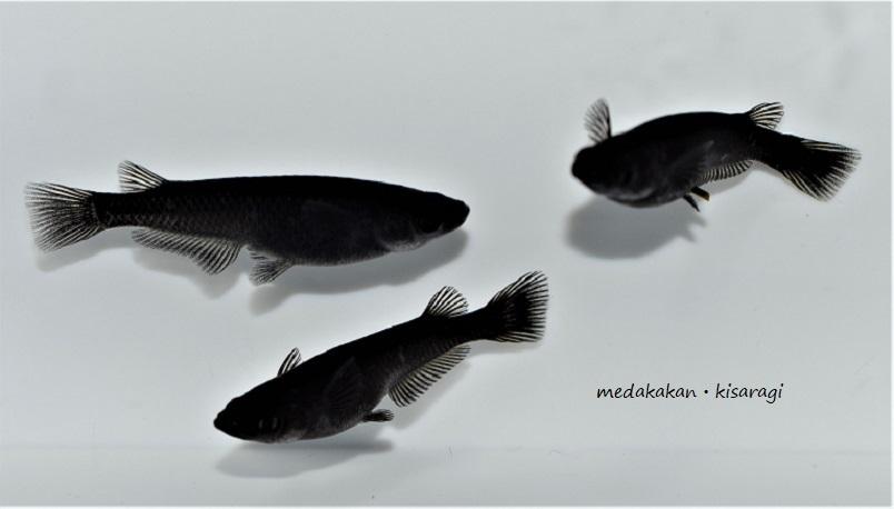 【メダカ舘・如月】超極上オロチめだか「墨黒SSランク個体」繁殖サイズ(大きめMLサイズ)3ペア+おまけ1匹の計7匹(PJ-①)『現物出品』_出品個体(現物)です。メス個体