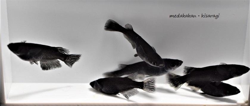 【メダカ舘・如月】超極上オロチめだか「墨黒SSランク個体」繁殖サイズ(大きめMLサイズ)3ペア+おまけ1匹の計7匹(PJ-①)『現物出品』_出品個体(現物)です。